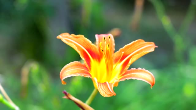 orange Lily flower closeup on natural background