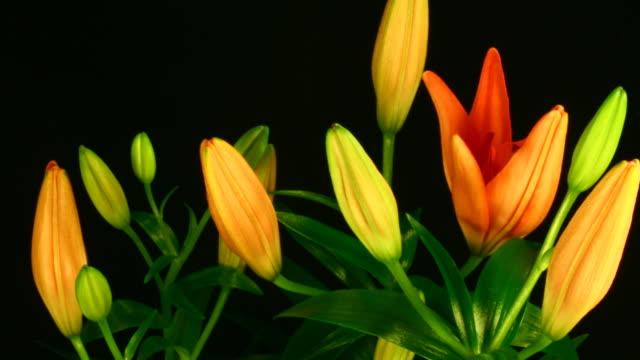 Orange lily flowers blooming video