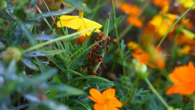 Orange Milkweed Beetles
