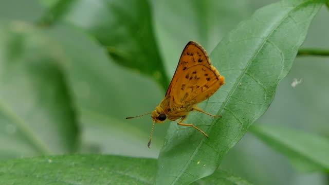 Orange moth on green leaf. video