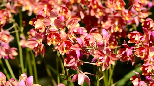 Orange orchids in the park Flowers that people around the world prefer to grow beautifully, fragrant naturally.