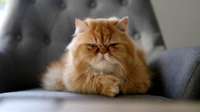 vídeos y material grabado en eventos de stock de gato persa naranja - gato doméstico