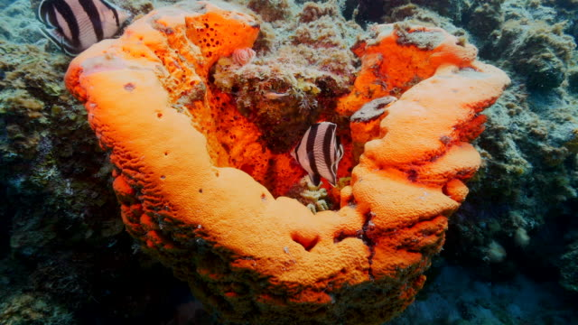Orange sponge with fish in coral reef in the Caribbean Sea around Curacao at dive site Director's Bay video