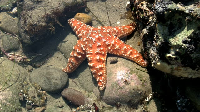 Orange Starfish In California Tide Pool video