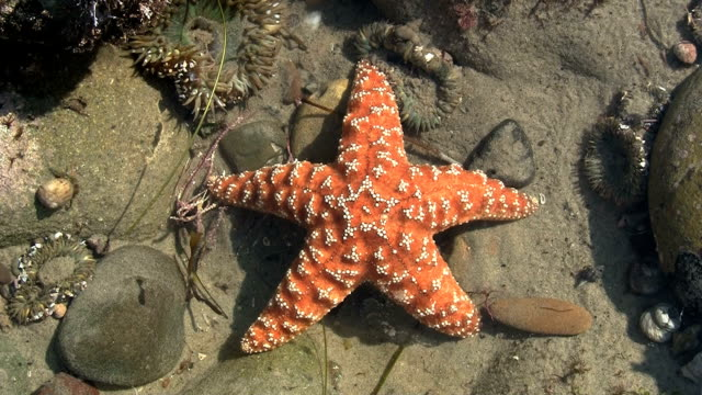 Orange Starfish In Pacific Tide Pool video