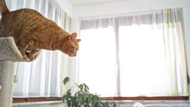 SLO MO Orange tabby cat jumping onto the sofa from the scratch post