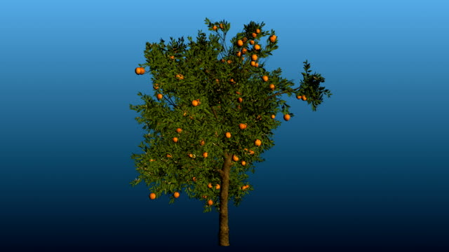 Orange tree rotation blooming with matte video