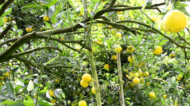 Orange tree video