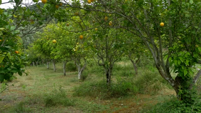 Orange Trees in Orchard video