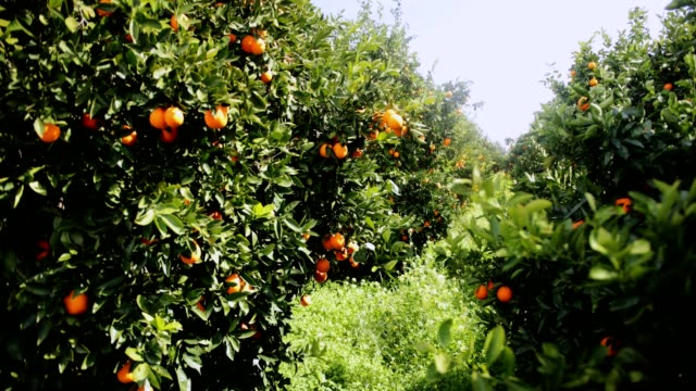 Orange trees orchard in the Mediterranean on sunny day