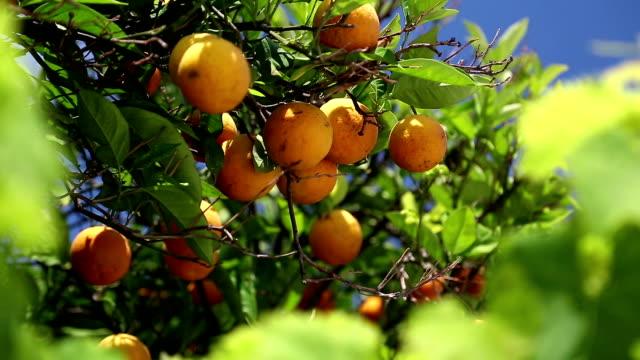 Orange trees video