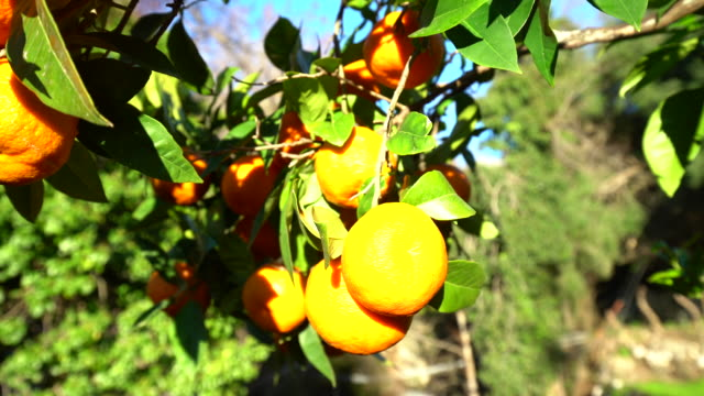 Orange trees with sun