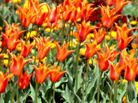 vídeos de stock, filmes e b-roll de pal: orange tulipas balançando ao vento (vídeo - flor temperada
