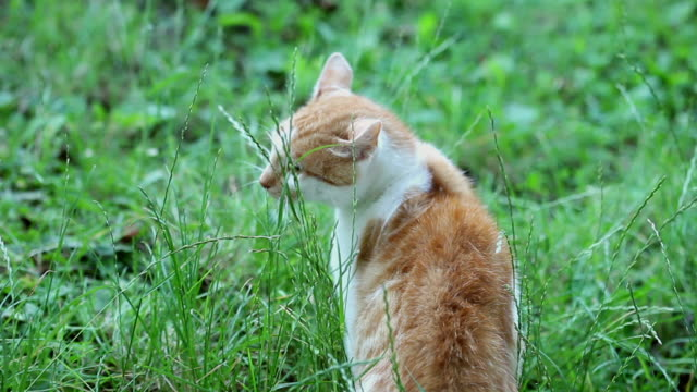 Orange white cat White brown domestic cat from the back in the grass shorthair cat stock videos & royalty-free footage
