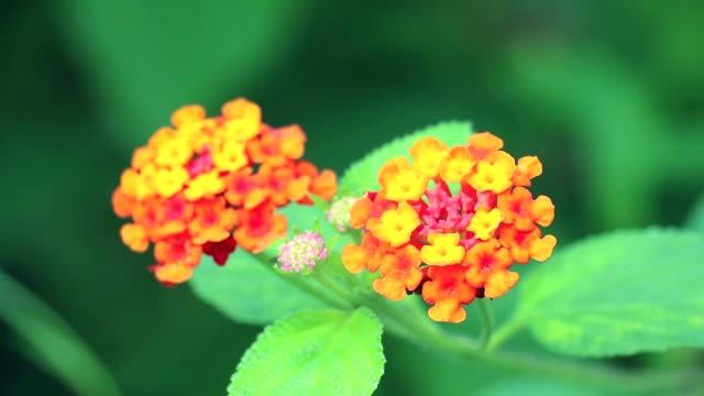 orange yellow lantana camara various color bloom in the garden1