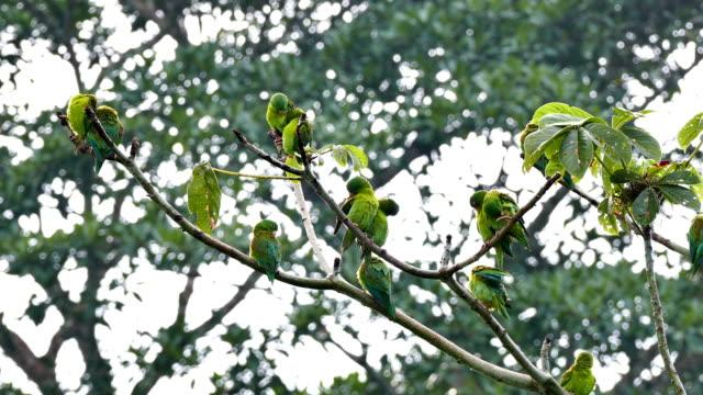Orange-Chinned Parakeet (Brotogeris Jugularis) grooming in numbers video