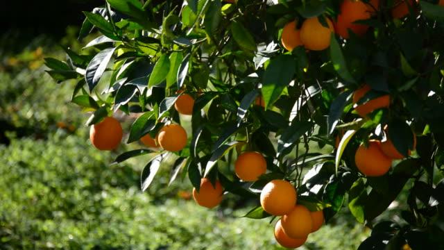 vídeos de stock e filmes b-roll de oranges hanging in a branch of a orange tree in a agricultural plantation - picking fruit
