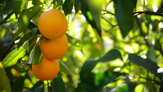 Oranges hanging in branch video