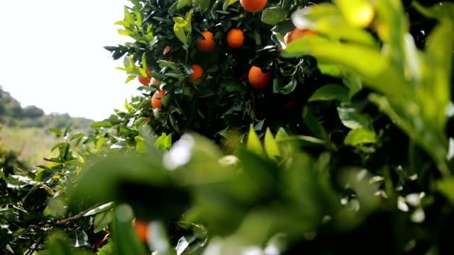 apelsiner som hänger på träd i orange grove i medelhavet - apelsin bildbanksvideor och videomaterial från bakom kulisserna
