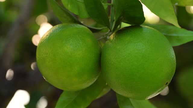 木の上のオレンジ。美しい柔らかいぼかしの背景で熟していない果物をクローズアップ - 熟していない点の映像素材/bロール
