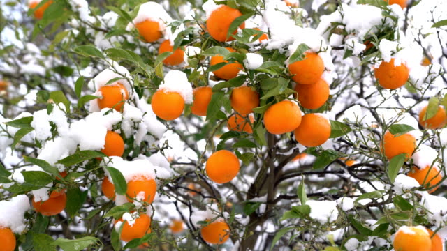 Oranges under the snow video