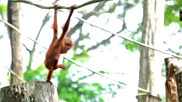 Orangutan baby video