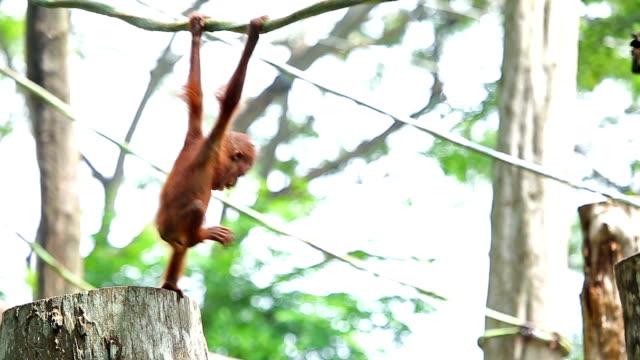 vídeos de stock, filmes e b-roll de orangotango bebê - macaco