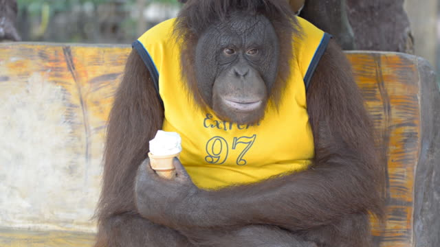 vídeos de stock, filmes e b-roll de orangotango comendo sorvete - macaco