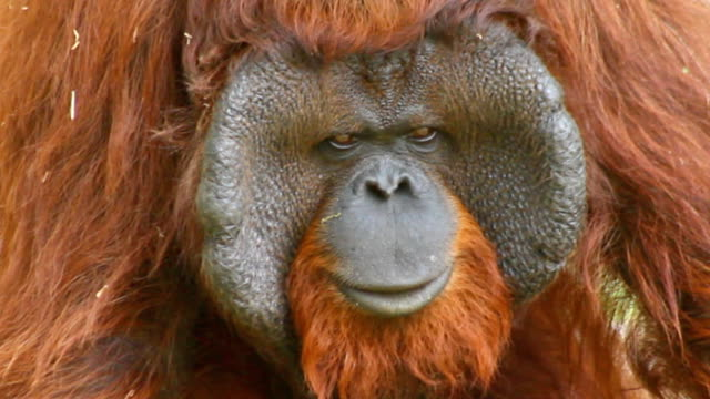 Orangutan face