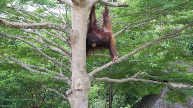 stockvideo's en b-roll-footage met orang-oetan op boom in het bos - maleisië