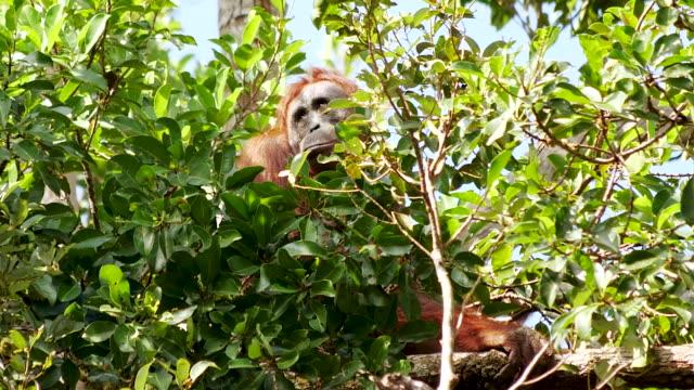 orang-utan saß in einem baum und ruhte in der sonne - nest stock-videos und b-roll-filmmaterial