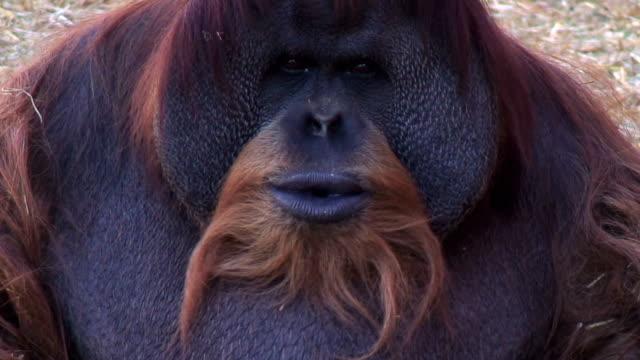 Orangutan shows his powerful teeth