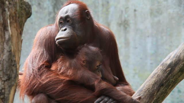 vidéos et rushes de orang-outan - zoo
