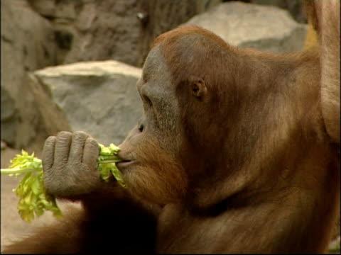orangutang - aquarium oder zoo stock-videos und b-roll-filmmaterial