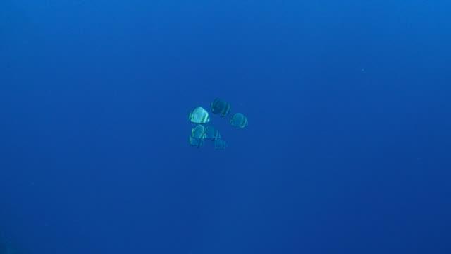 vídeos y material grabado en eventos de stock de batfish orbicular, submarinos - sea life park