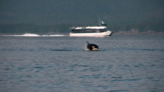 stockvideo's en b-roll-footage met orca killer whales hunting sea lions high definition hd video - alaska verenigde staten