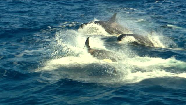 vidéos et rushes de orques - orques natation - baleine