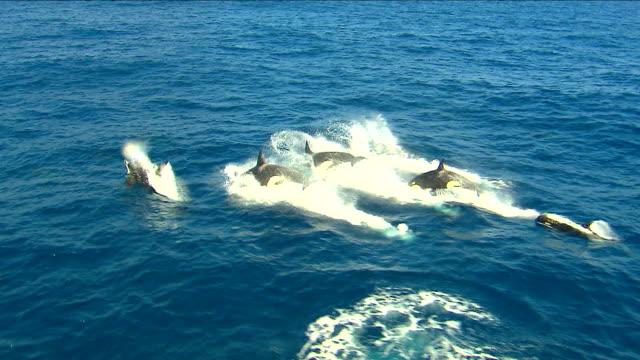 orcas - killer whales swimming - antarktyda filmów i materiałów b-roll