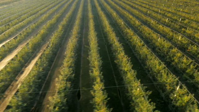 AERIAL Orchard Of Apple Tree video