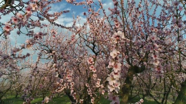 orchard of bloomed peach trees in spring - brzoskwinia drzewo owocowe filmów i materiałów b-roll