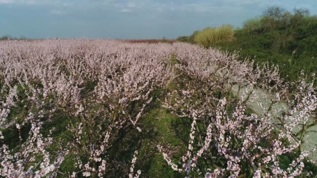 orchard of bloomed peach trees in spring