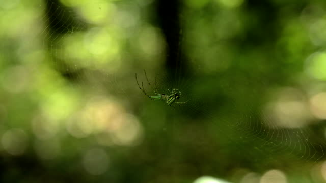 Orchard spider hanging out video
