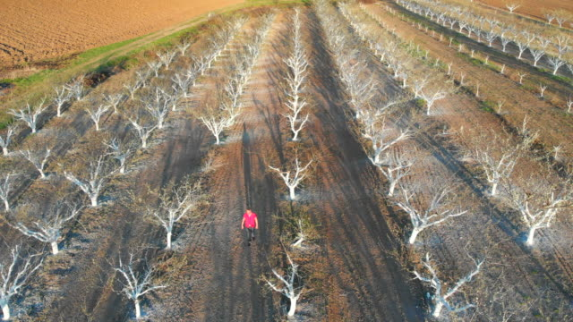Orchard trees painted with protective white paint. Aerial footage.