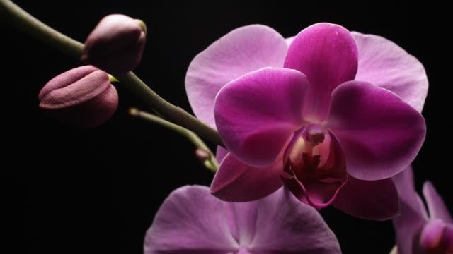 orchideen knospe blume blühenden timelapse (phalaenopsis orchidee) - orchidee stock-videos und b-roll-filmmaterial