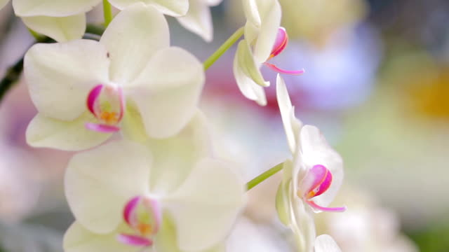 Orchid flower in garden at winter or spring day for postcard beauty and agriculture idea concept design. Phalaenopsis orchid or Moth orchid.