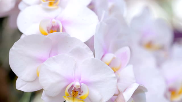 Orchid flower in orchid garden at winter or spring day for beauty and agriculture concept design. Phalaenopsis orchid or Moth orchid.
