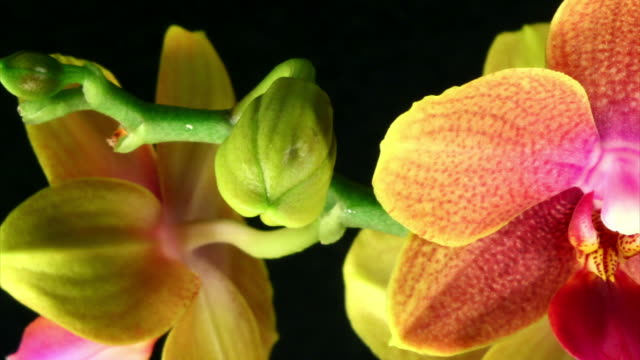 Orchid Phalaenopsis  blooming  HD, PAL and NTSC