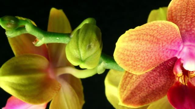 orchid mother blühenden hd-qualität, pal und ntsc - orchidee stock-videos und b-roll-filmmaterial
