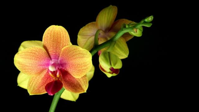 Orchid Phalaenopsis  blooming  HD
