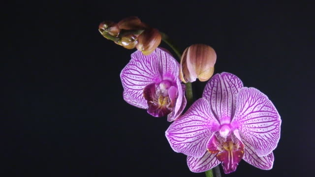 Orchid Phalaenopsis  opening video